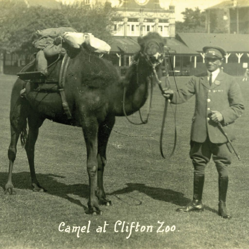 Archive photograph of keeper and camel at Bristol Zoo Gardens