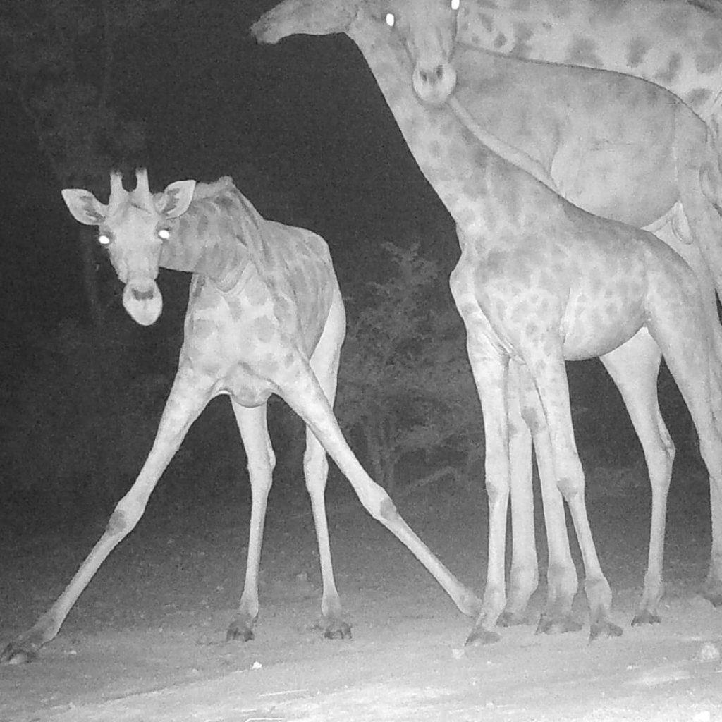 Camera trap footage of wild giraffe in Cameroon