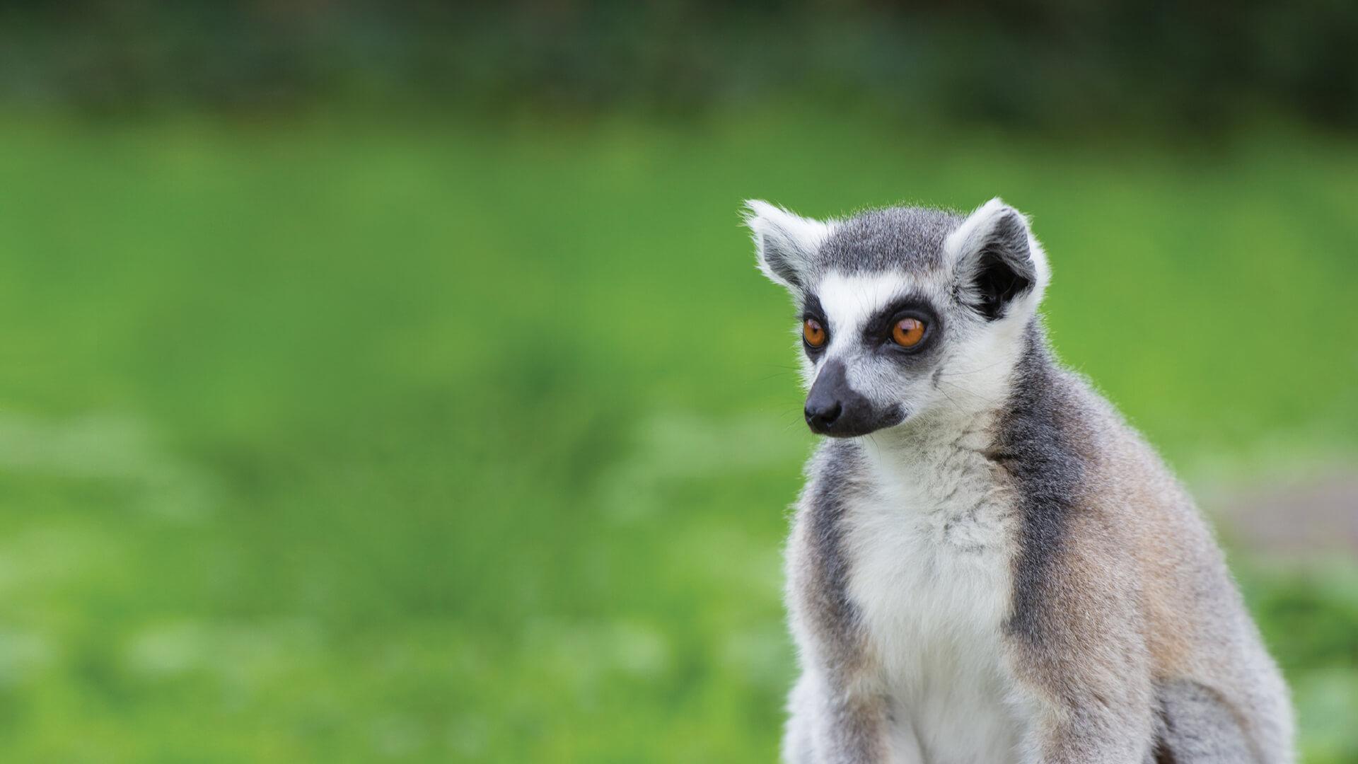 Ring-tailed lemur at Bristol Zoo Gardens