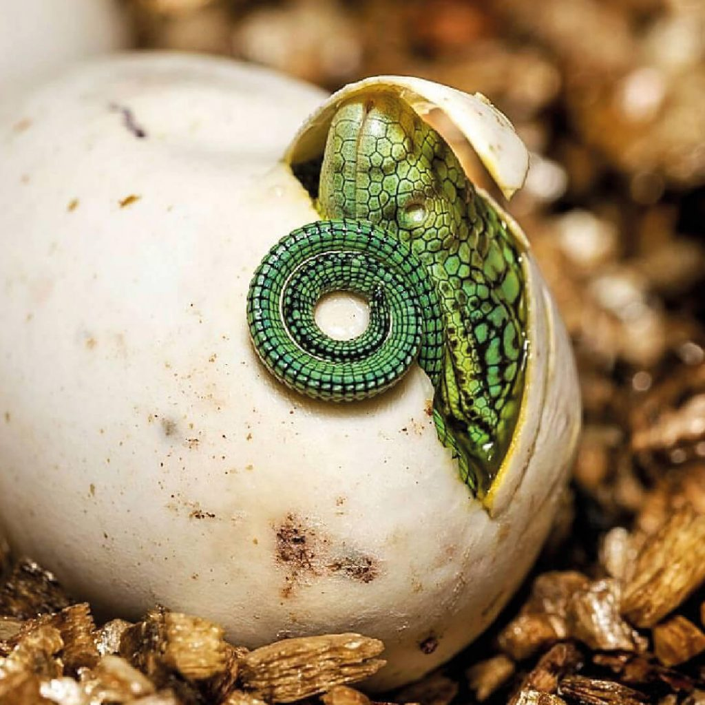 Close up of tree monitor hatching