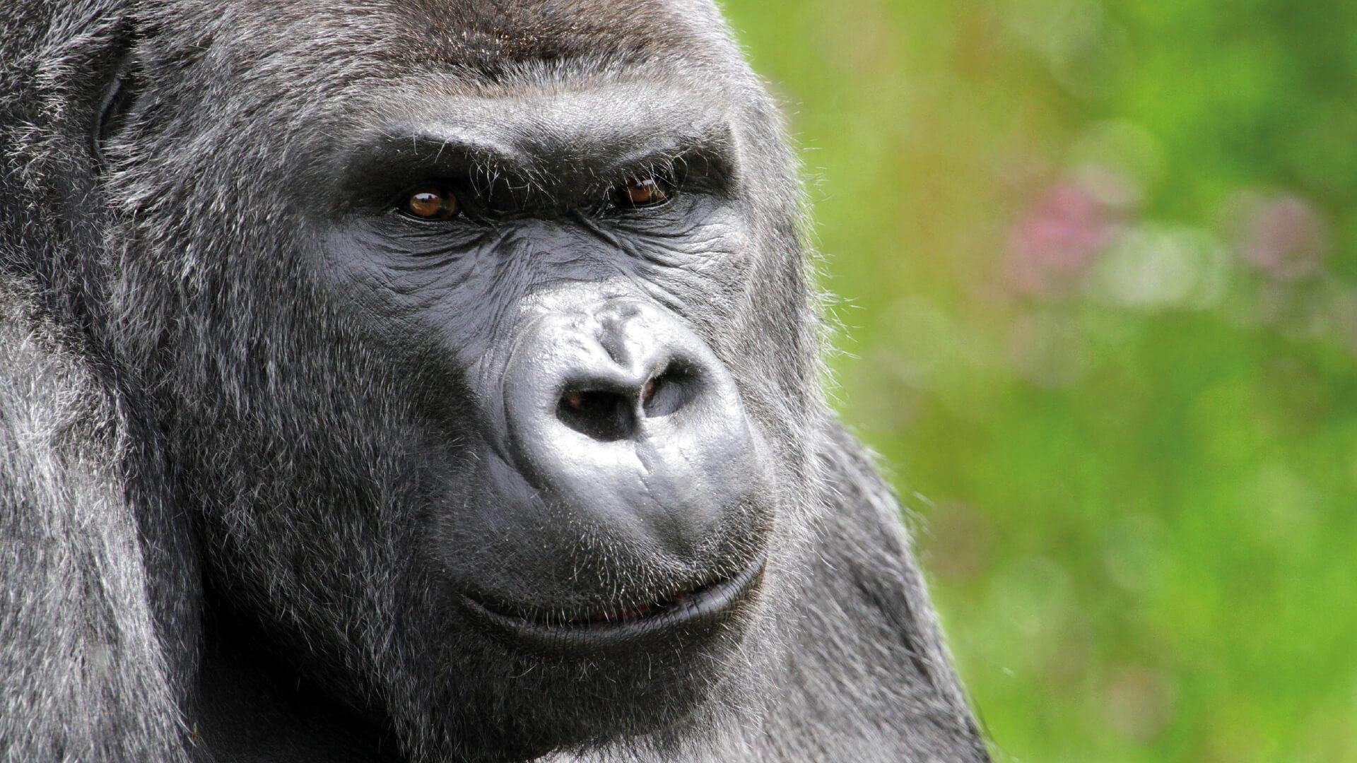 Jock the silverback gorilla at Bristol Zoo Gardens