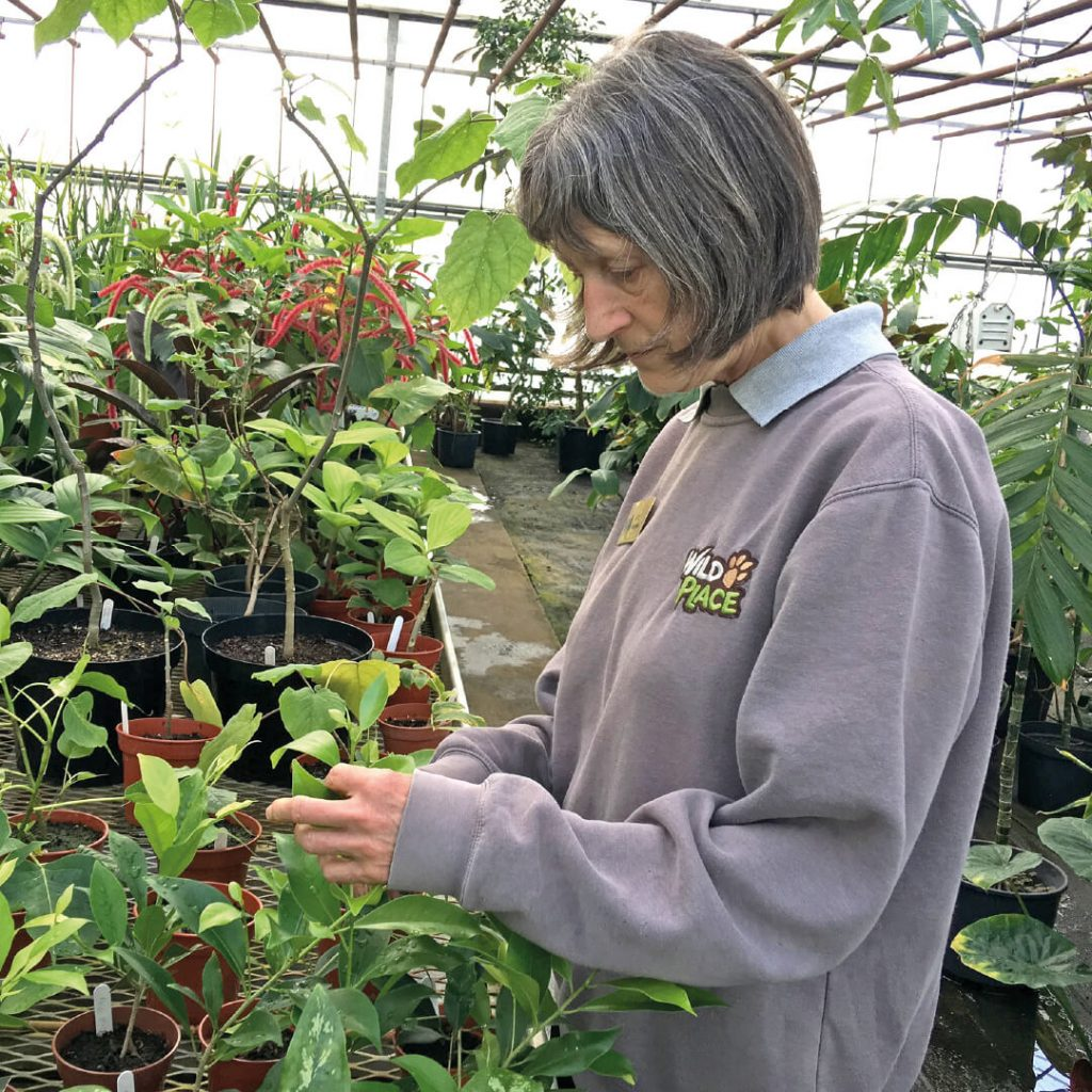 Horticultural volunteer looking after seedlings at gardens nursery, Wild Place Project