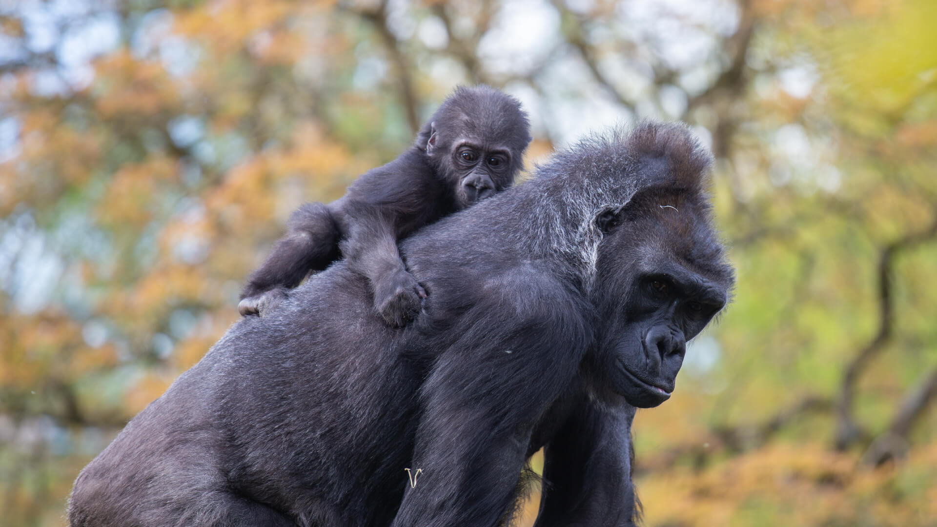 Kera and Hasani western lowland gorillas at Bristol Zoo Gardens