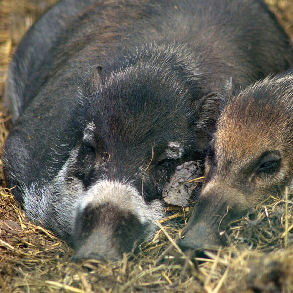 Two sleepy Visayan warty pigs at Bristol Zoo Gardens