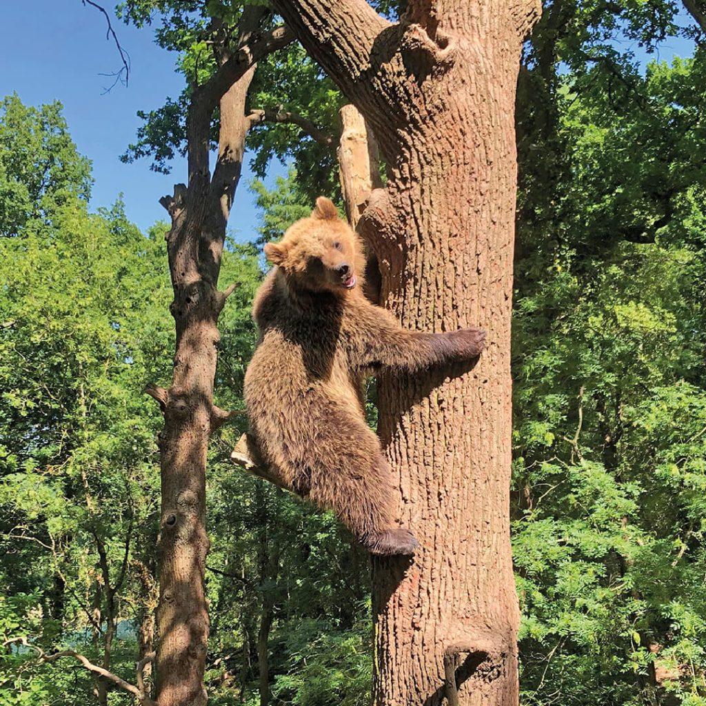 Bear climbing tree in Bear Wood