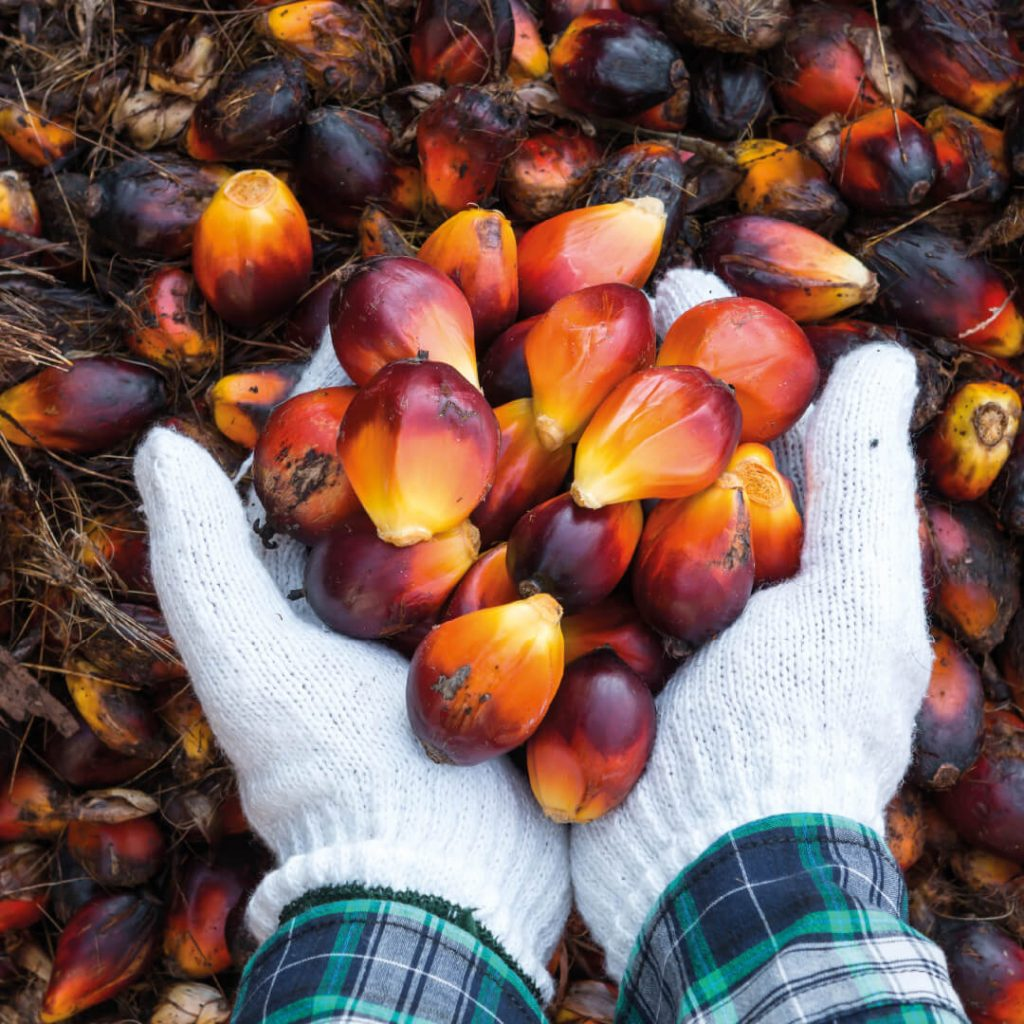 Photograph of hands holding palm oil fruit