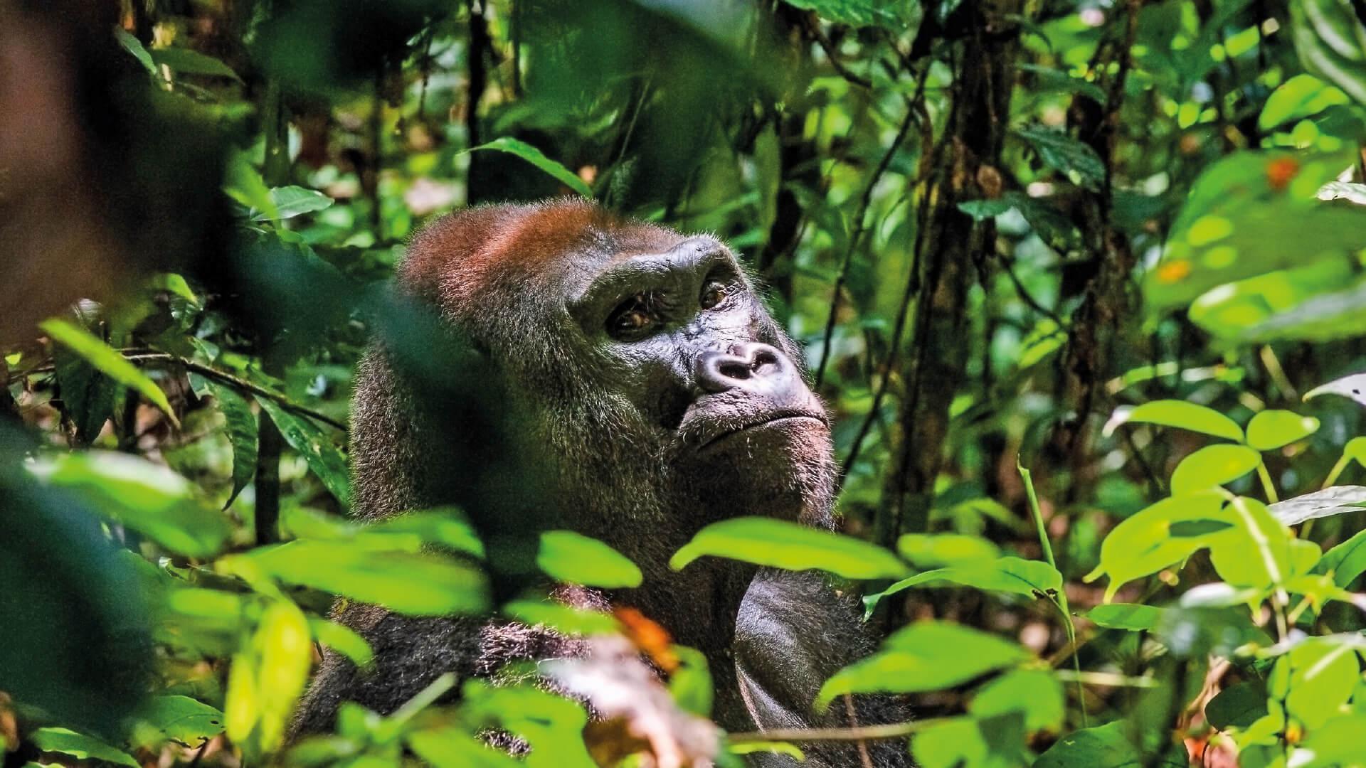 Western lowland gorilla in-situ, looking at camera