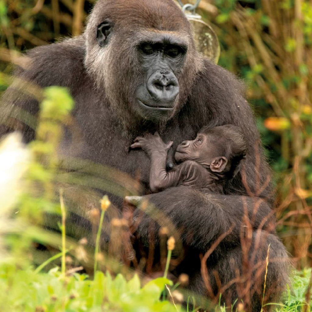 Western lowland gorilla cradling its infant at Bristol Zoo Gardens
