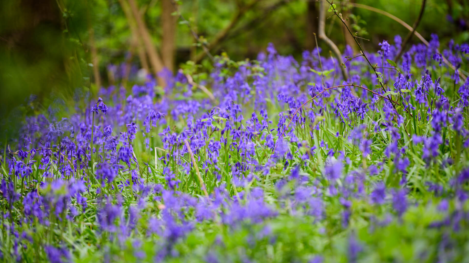 Field of bluebells at Wild Place Project