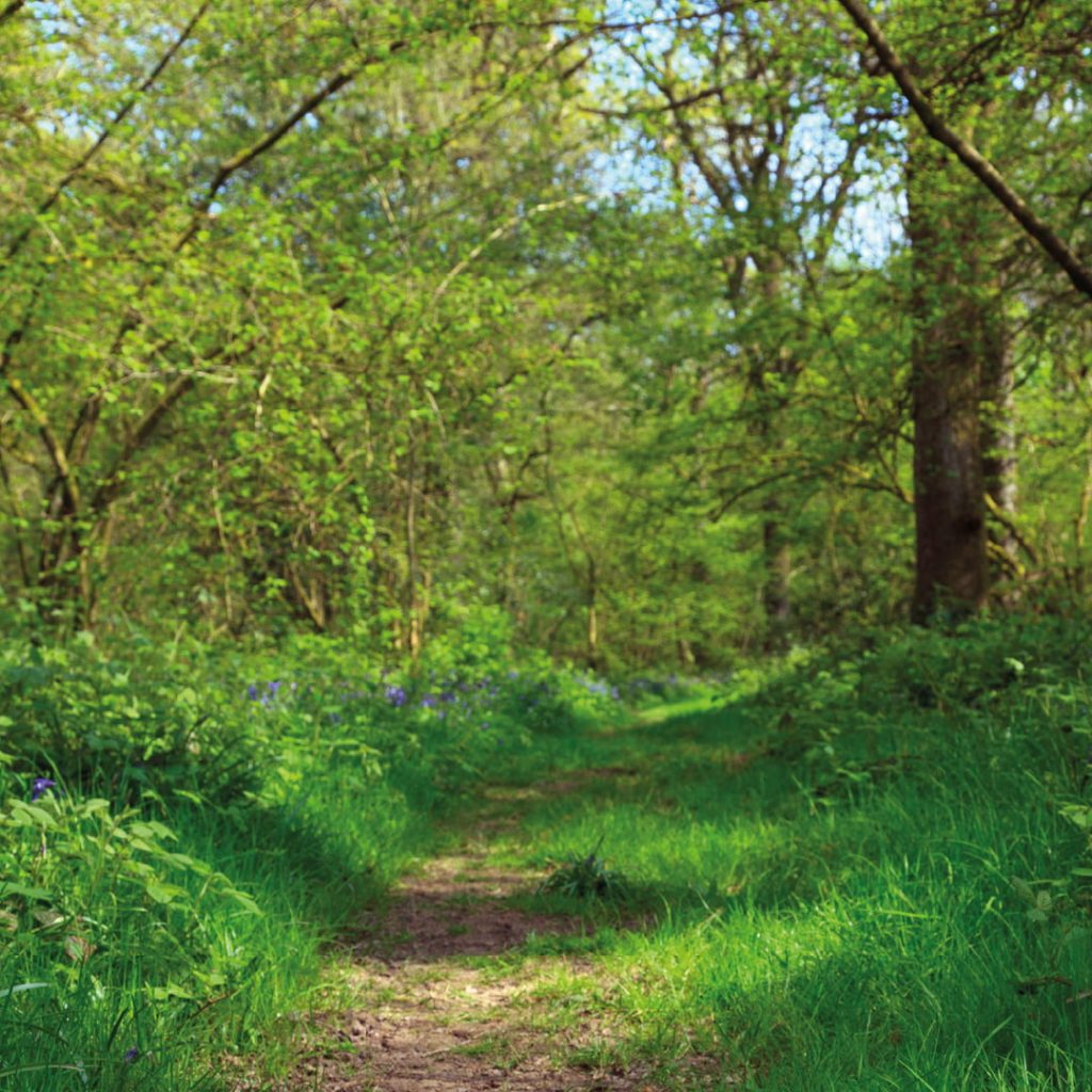 path leading into a lush light forest with bluebells along the footpath