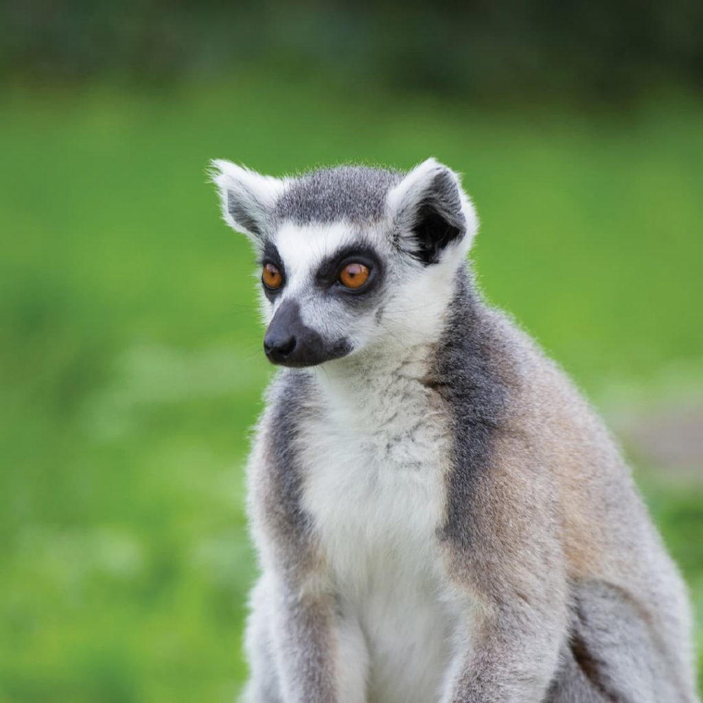Close up of ring-tailed-lemur sitting in front of green background